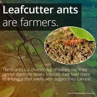 leafcutter ants.png